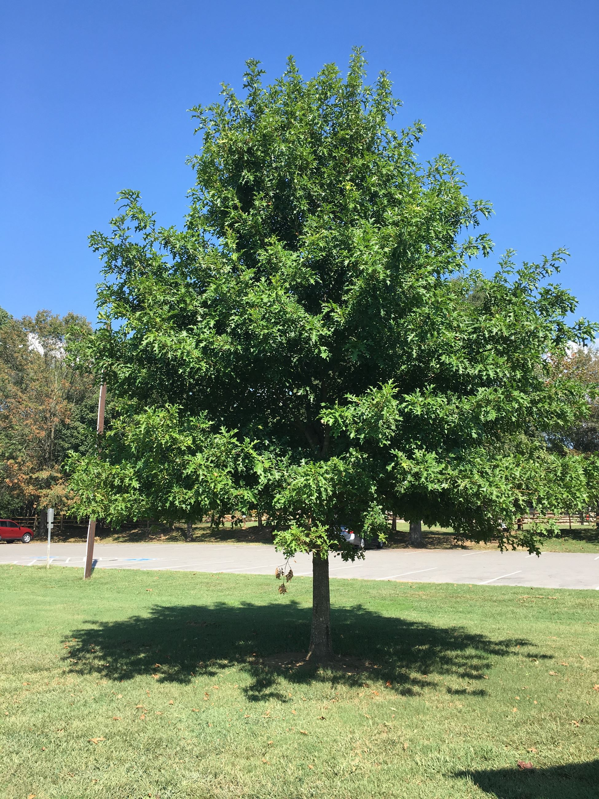 Cherrybark Oak by ball field